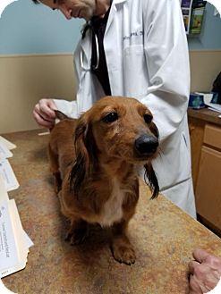 Dachshund Dog for adoption in Woonsocket, Rhode Island - Liza