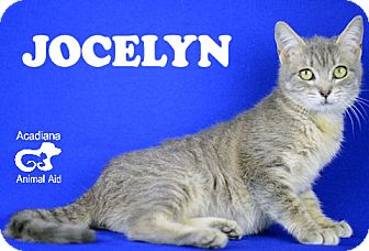 Domestic Shorthair Cat for adoption in Carencro, Louisiana - Jocelyn