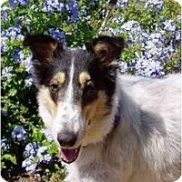 Adopt A Pet :: Cassie - adopt hold - Gardena, CA