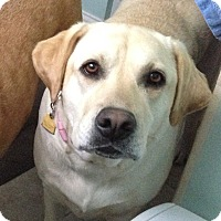 Adopt A Pet :: Daisy - Brattleboro, VT