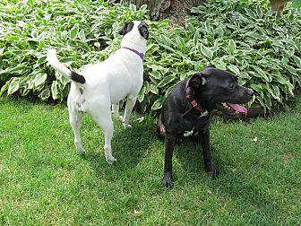 English Setter/Boxer Mix Dog for adoption in Wood Dale, Illinois - Davey