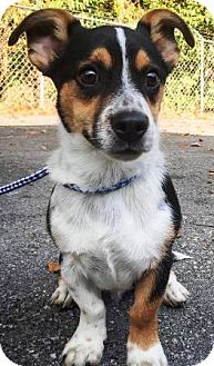 Corgi Mix Puppy for adoption in Oswego, Illinois - Lotto