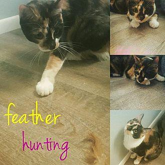 Calico Cat for adoption in Phoenix, Arizona - Clio