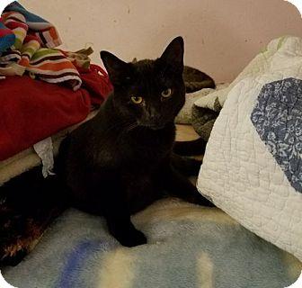 Domestic Shorthair Cat for adoption in Toledo, Ohio - Daisey