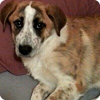 Adopt A Pet :: Rosy in New England! - Croydon, NH