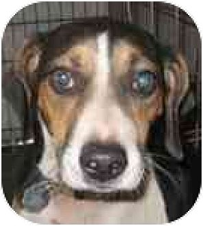 Jack Russell Terrier/Beagle Mix Dog for adoption in Blanchard, Oklahoma - Eddie