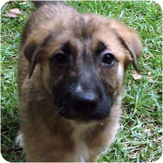 German Shepherd Dog Mix Puppy for adoption in Pike Road, Alabama - Mocha