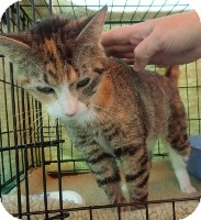 Calico Cat for adoption in Horsham, Pennsylvania - Polly