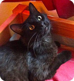 RagaMuffin Cat for adoption in Escondido, California - Howard