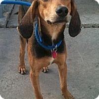 Adopt A Pet :: Bobby - Schererville, IN