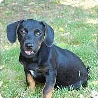 Adopt A Pet :: Corbeil - Albany, NY