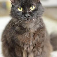 Domestic Longhair Cat for adoption in Atlanta, Georgia - Beaners151901