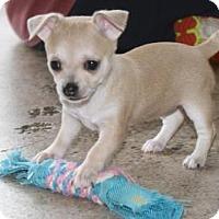 Adopt A Pet :: Fawn - Puppy - Dallas, TX