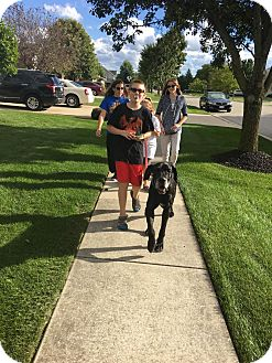 Great Dane Dog for adoption in Oswego, Illinois - Boots