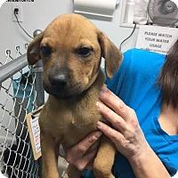 Adopt A Pet :: Jasmine - Troy, IL
