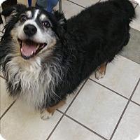 Adopt A Pet :: Stubby - Chippewa Falls, WI