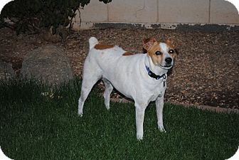 Jack Russell Terrier Mix Dog for adoption in Phoenix, Arizona - Ruby Tuesday