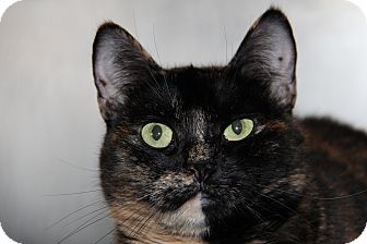 Domestic Mediumhair Cat for adoption in Forked River, New Jersey - Ashley