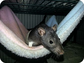 Rat for adoption in Lakewood, Washington - Hooded Girl