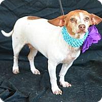 Adopt A Pet :: Sierra - Plano, TX