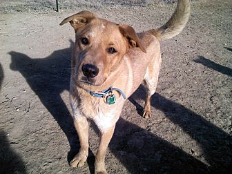 Blue Heeler Mix Dog for adoption in Littleton, Colorado - MAVERICK
