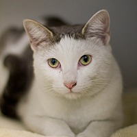 Domestic Shorthair Cat for adoption in Grayslake, Illinois - Suri