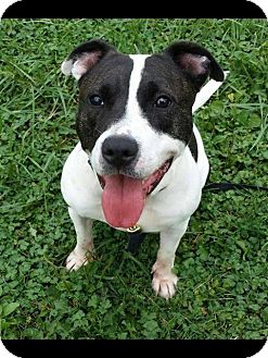 Pit Bull Terrier Mix Dog for adoption in Spring City, Pennsylvania - Shortie
