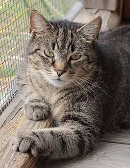 Domestic Shorthair Cat for adoption in Freeport, Florida - Bander