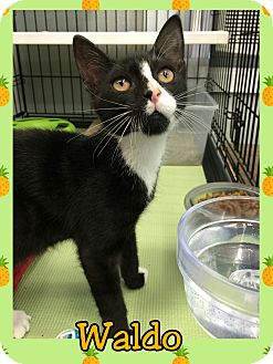Domestic Shorthair Kitten for adoption in Atco, New Jersey - Waldo