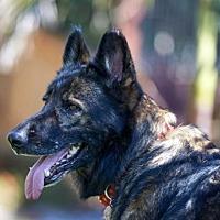 Adopt A Pet :: Laika - San Diego, CA