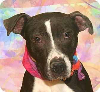 Staffordshire Bull Terrier Mix Dog for adoption in Cincinnati, Ohio - Pocket