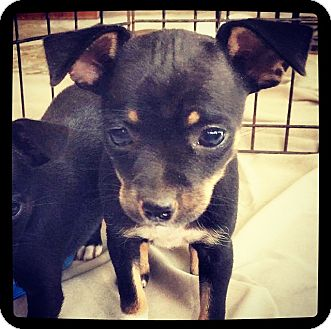 Chihuahua/Terrier (Unknown Type, Small) Mix Puppy for adoption in Grand Bay, Alabama - Felicity