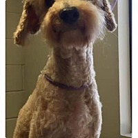 Poodle (Miniature) Dog for adoption in Christiana, Tennessee - Prince Fro