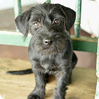 Adopt A Pet :: Tshia - San Antonio, TX