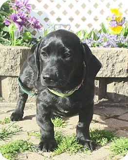 Labrador Retriever/Basset Hound Mix Puppy for adoption in West Chicago, Illinois - Iesha