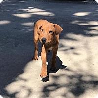 Adopt A Pet :: Roger - Houston, TX