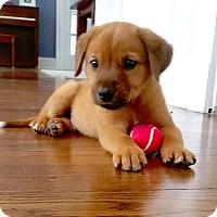 Adopt A Pet :: *Basil - PENDING - Westport, CT