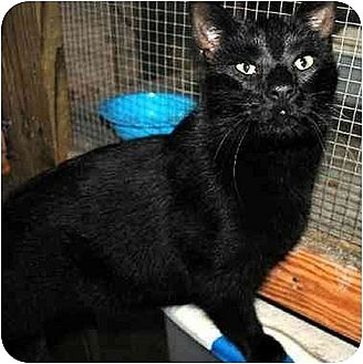 Domestic Shorthair Cat for adoption in Thibodaux, Louisiana - Shadows FE1-7530