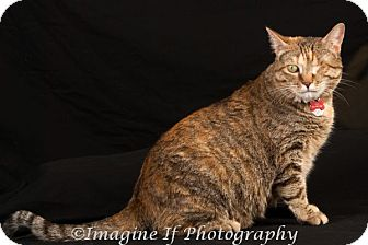 Domestic Shorthair Cat for adoption in Edmond, Oklahoma - Queen