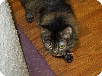 Domestic Mediumhair Cat for adoption in Medina, Ohio - Marge