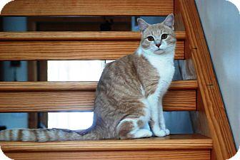 Domestic Shorthair Cat for adoption in Sanford, Maine - Freddie