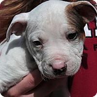 Adopt A Pet :: Phil - Sacramento, CA