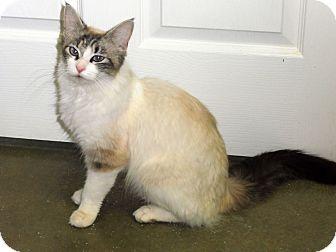 Siamese Cat for adoption in Creston, British Columbia - Bindi