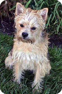 Cairn Terrier/Yorkie, Yorkshire Terrier Mix Puppy for adoption in Bridgeton, Missouri - Toby-ADOPTION PENDING