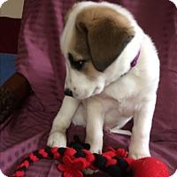 Adopt A Pet :: Cipher - Evergreen, CO