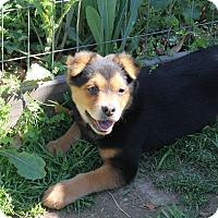 Adopt A Pet :: Puppy Tiny Girl - Brattleboro, VT