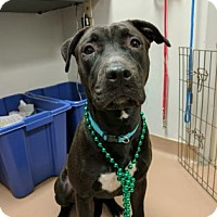 Labrador Retriever Mix Dog for adoption in Atlanta, Georgia - Rubi
