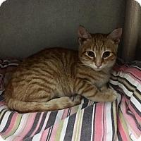Adopt A Pet :: Scooch Kittens - Fairfax, VA