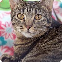 Adopt A Pet :: Milagra - St Louis, MO