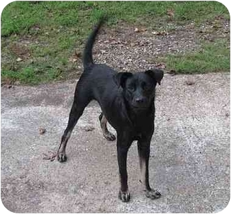 Labrador Retriever Mix Dog for adoption in Kingwood, Texas - Lucky